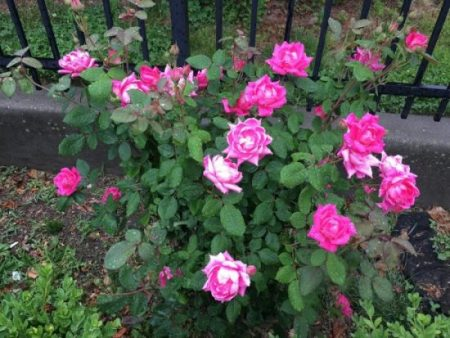 Pink roses in Brooklyn