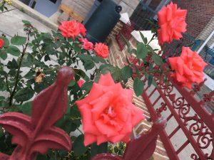 Roses in Brooklyn Summer