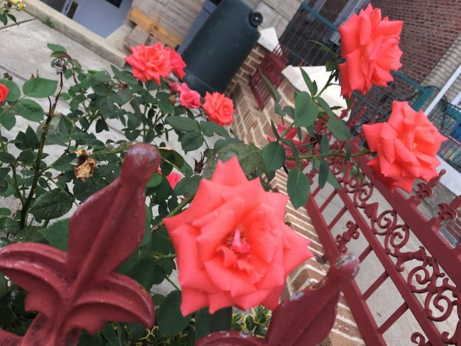 Roses in Brooklyn Summer
